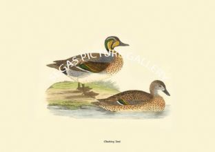 Clucking Teal